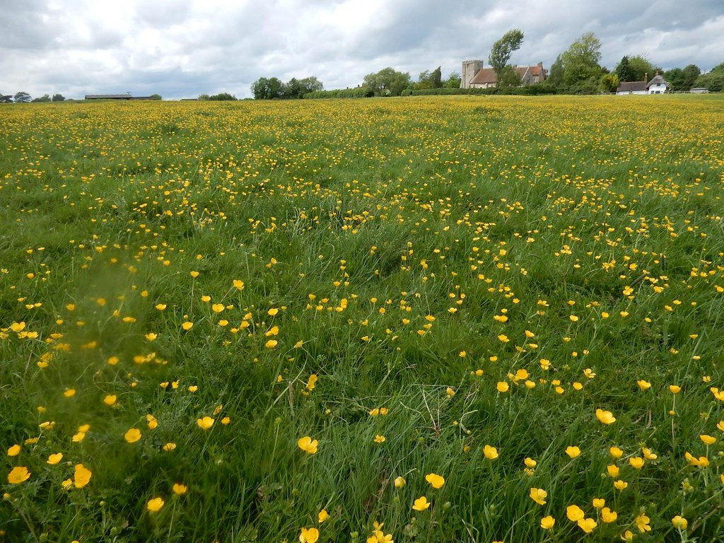 buttercups Mary Magdalene church, Shabbington, Thame Circular.