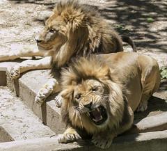 Smithsonian National Zoo  (1101)African Lion
