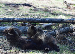 Nursing grizzly bear with yearling cub - 7606b