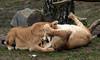 african lion Beekse bergen JN6A0378