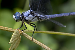 Blue dasher male dragonfly insect