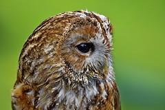 _DSC5194 Tawny Owl 4  2017