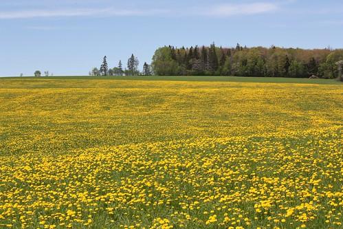 milton pei canada field dandelions springvale