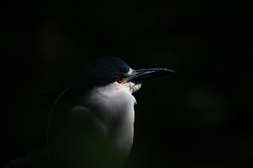 nycticoraxnycticorax blackcrownednightheron