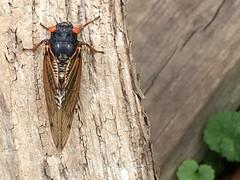 periodical cicada in Greenbelt