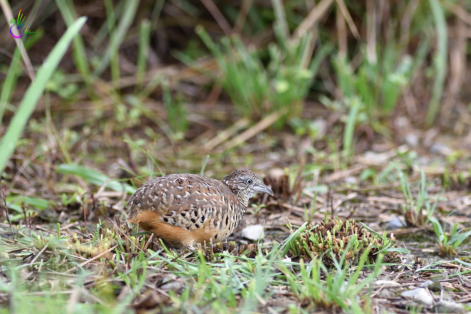 Barred_Buttonquail_8179