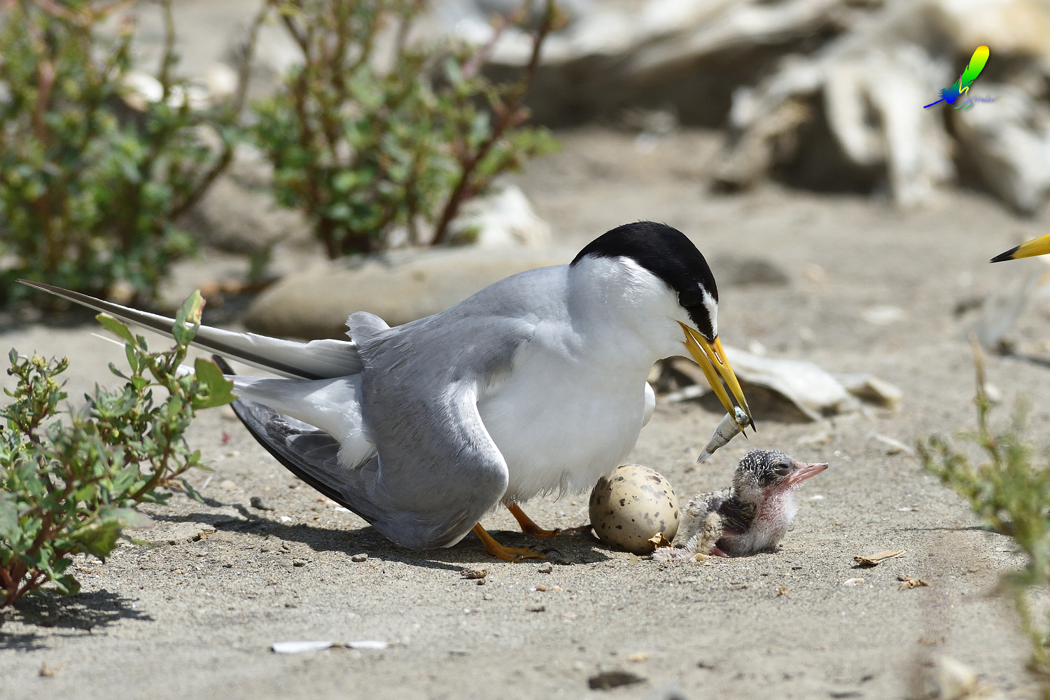Little_Tern_8761