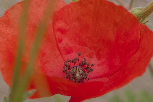 Amapola / Red poppy