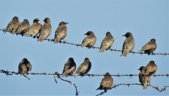 Starlings on Barbed Wire Fence - Cresswell