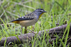 Spotted Pardalote 2017-05-21 (60D_0985)