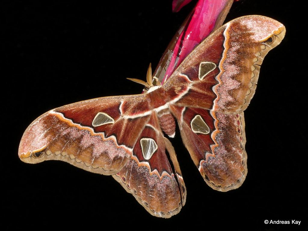 Lebeaus Silkmoth, Rothschildia lebeau, Saturniidae