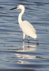 Median egret (Mesophoyx intermedia)