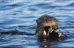 Giant river otter Pteronura brasiliensis