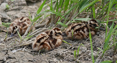 American Woodcock Chicks
