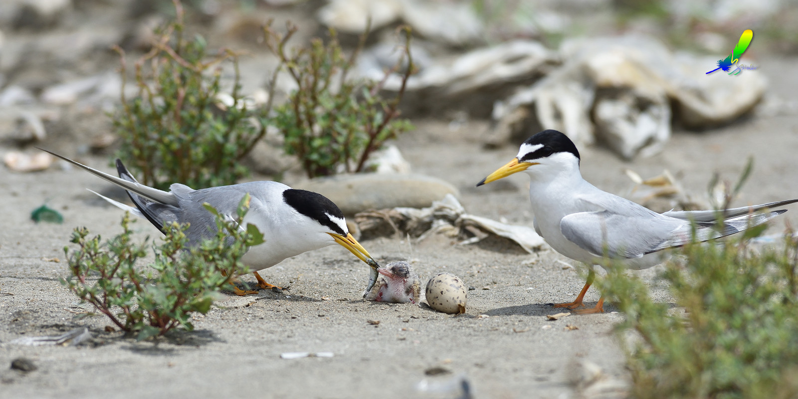 Little_Tern_8835