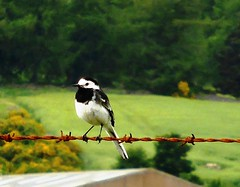 Pied wagtail sitting on rusted barbed wire
