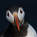 Puffin by markstrachan1