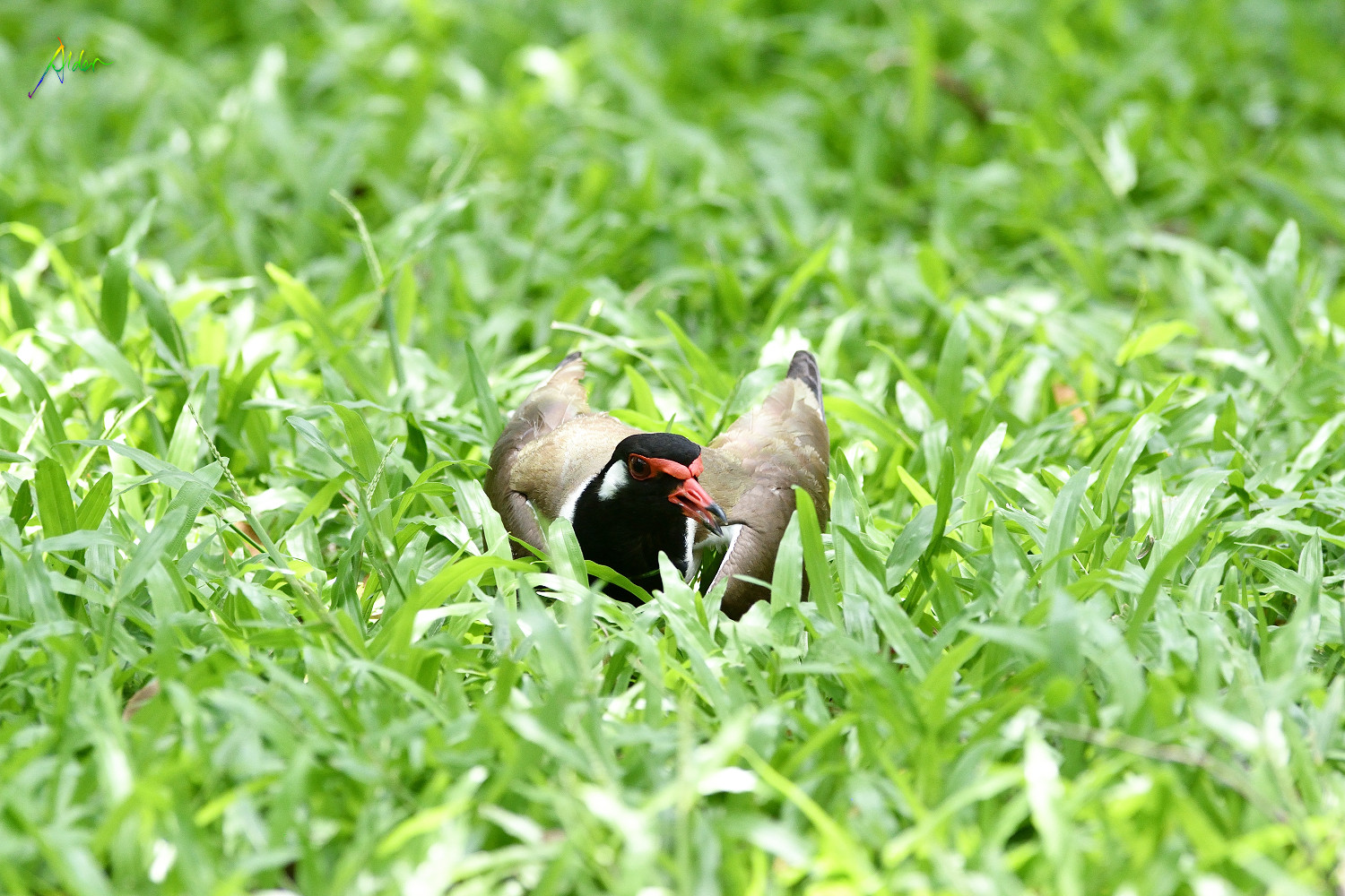 Red-wattled_Lapwing_1459