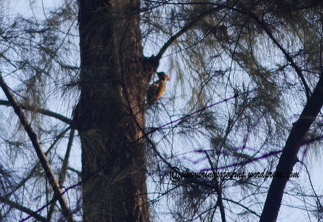 My first woodpecker pic