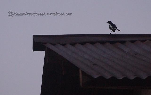 Oriental Robin Magpie-2