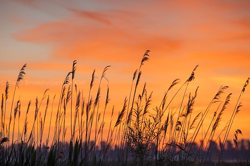 riet, reed