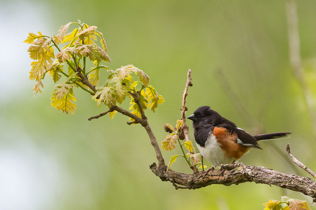 Eastern Towhee, Canon EOS 7D, Canon EF 500mm f/4L IS