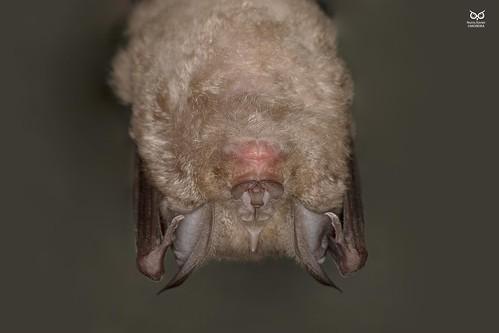 Morcego-de-ferradura-grande, Greater horseshoe bat (Rhinolopus ferrumequinum)
