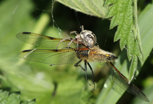 Spider with 4 Spotted Chaser.