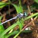 Slender Blue Skimmer