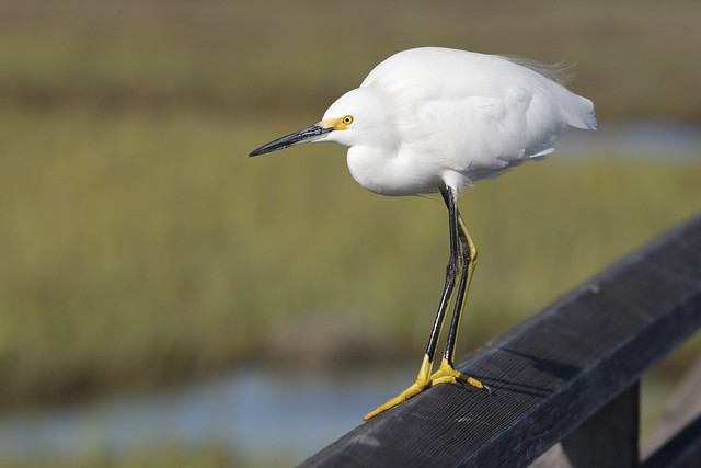EOS21953 View Large. Snowy Egret. Bolsa Chica, Huntington Beach California