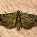 Green pug (Pasiphila rectangulata) moth