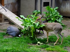 0520-Dik Dik and Guinea Fowl