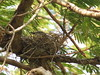 Couch's Kingbird on nest