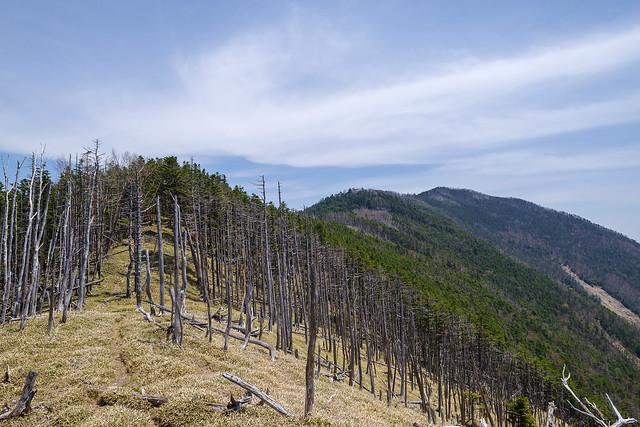 立ち枯れ帯を進み雁坂嶺を目指す