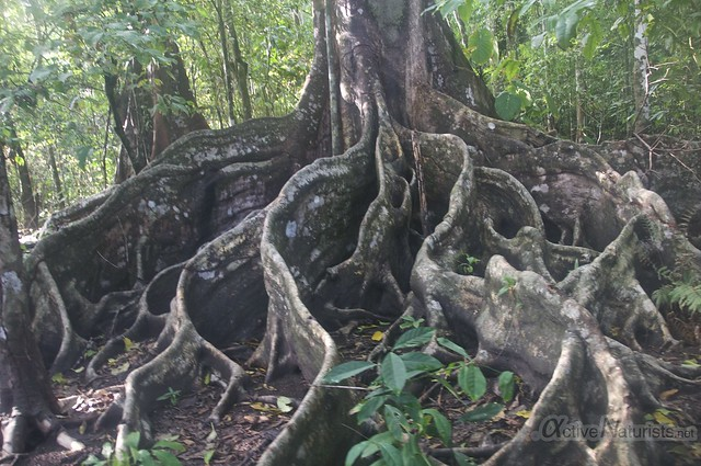 tree 0003 Corcovado, Osa peninsula, Costa Rica