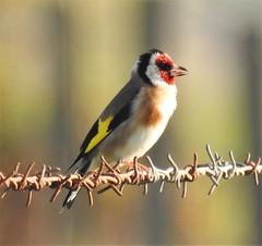 Goldfinch in Full Song - Druridge