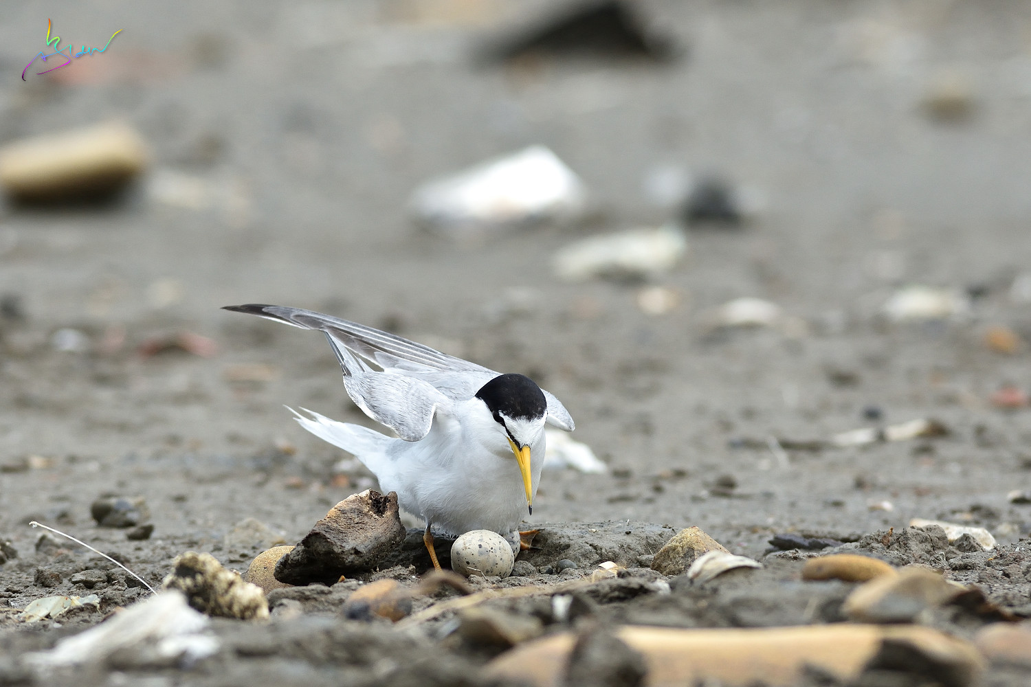 Little_Tern_3298