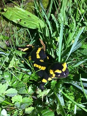 Salamander in the garden
