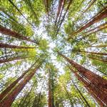 Redwoods_0182a