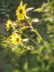 Sunflowers go53cv