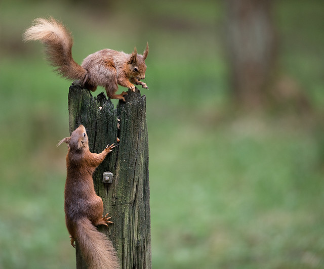 Red Squirrels, Canon EOS 5D MARK IV, Canon EF 300mm f/2.8L IS II USM