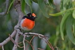 Red - capped Robin ( Male )