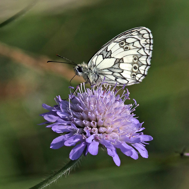 MARBLED WHITE 3 200617, Canon EOS 80D, Canon EF 300mm f/4L IS