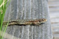 Lacertidae