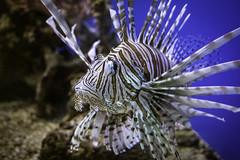 Lionfish01