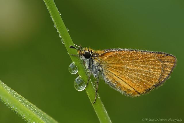 Least Skipper Butterfly, Nikon D810, AF Micro-Nikkor 200mm f/4D IF-ED