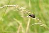 Narrow bordered 5 spot Burnet Moth
