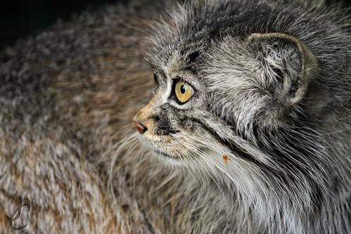 WHF: Tula (Pallas Cat)