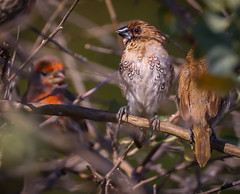 Spice Finch in the clown car bush Madrona Marsh Torrance 320