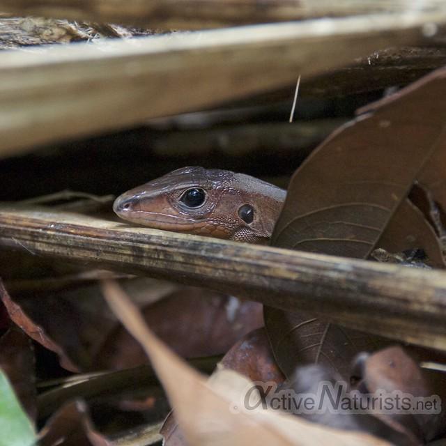 lizard 0000 Corcovado, Osa peninsula, Costa Rica